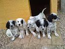 Cachorros de Setter Inglés
