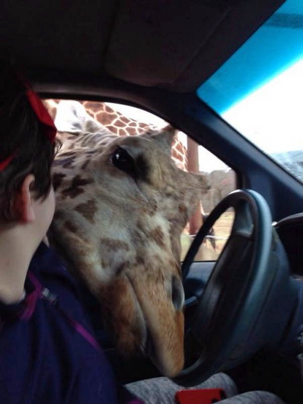 Funny animals of the week - 21 March 2014 (40 pics), funny animal pictures, giraffe puts his head inside car