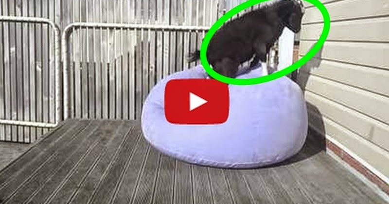 Goat adorably attempts to balance on blow up chair - So Cute! - Must Watch Video