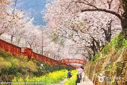 bunga musim semi di korea