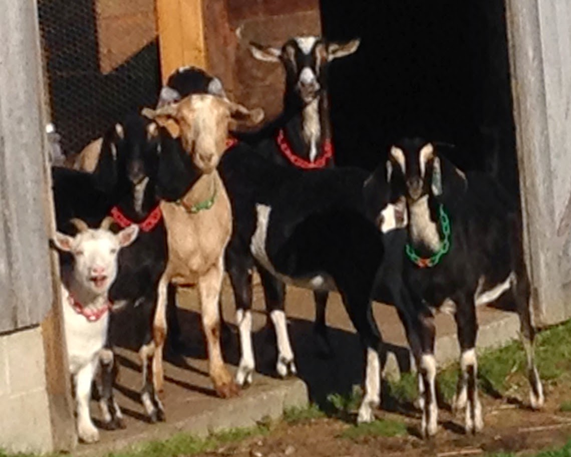 Goats at the barn door