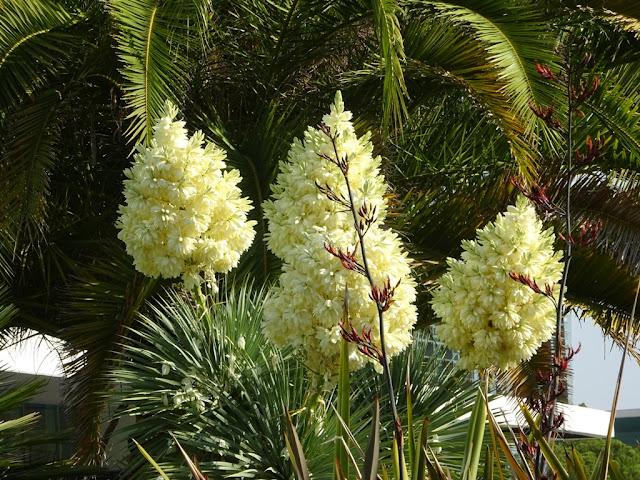 Divagar sobre tudo um pouco iuca yucca elephantipes for Planta yuca exterior
