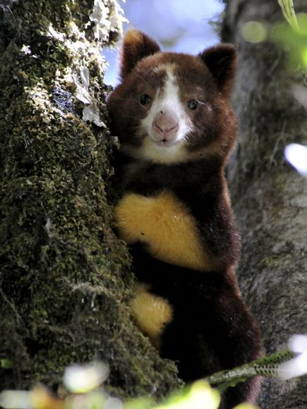 Matschie's Tree Kangaroo