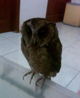 Foto Scops Owl