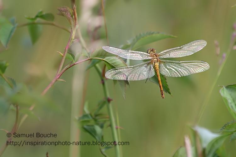 comment photographier les libellules