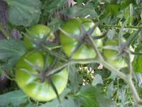 Panduan Cara Budidaya Tomat Yang Benar