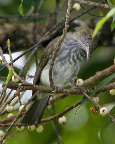 Gambar Cara Merawat Burung Cucak Kencur