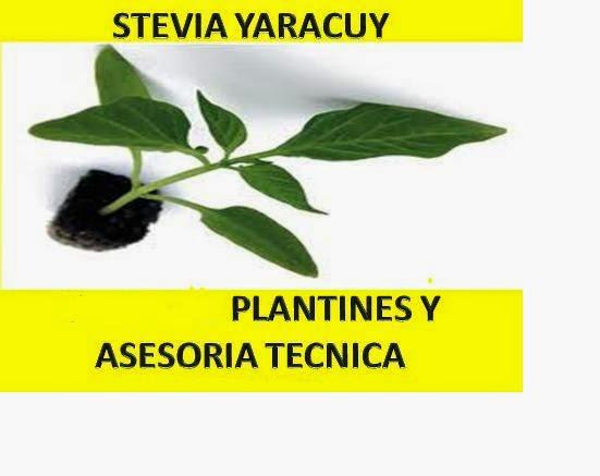 STEVIA YARACUY