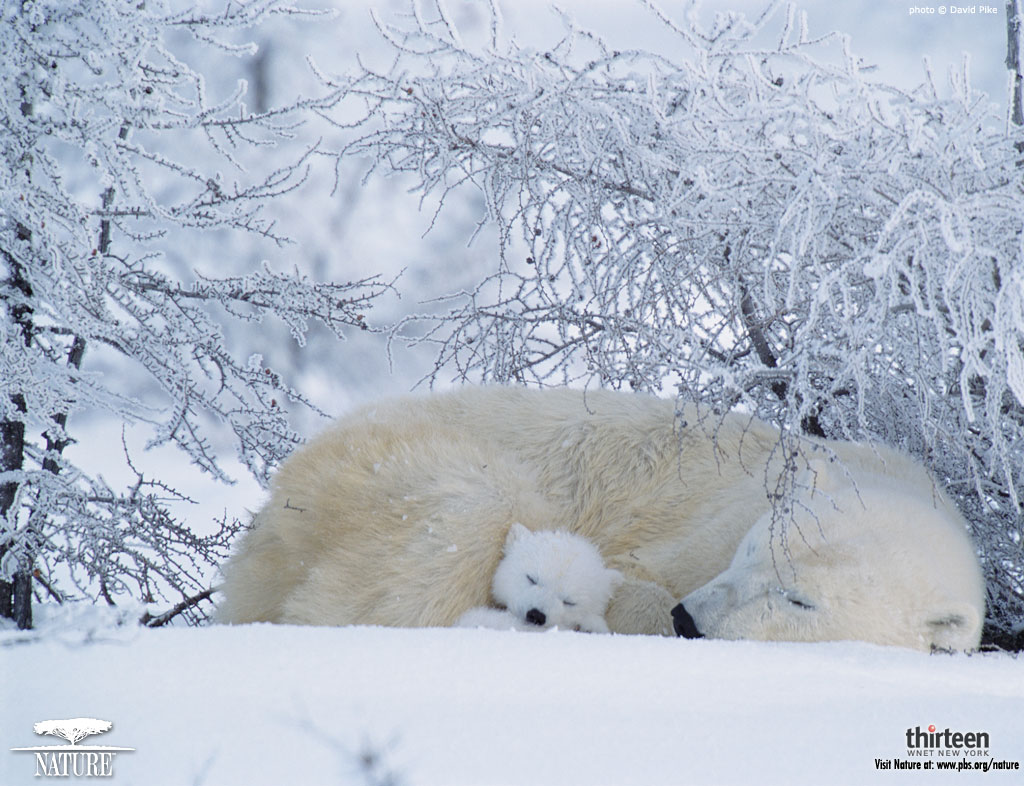 polar bear wallpaper desktop funny animal