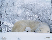 #7 Polar Bear Wallpaper