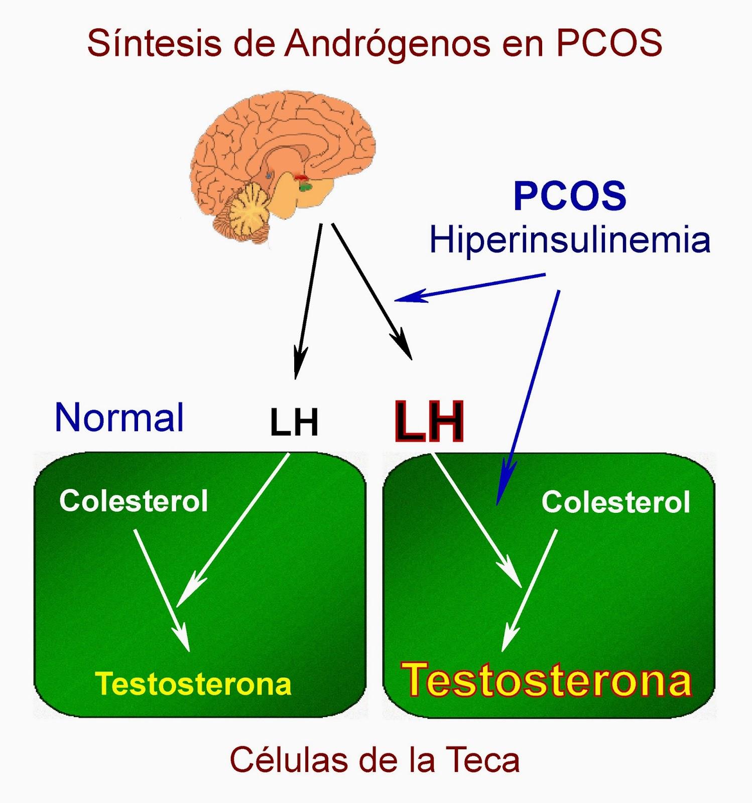 Síntesis de andrógenos en las células de la teca en el ovario en PCOS, SOP