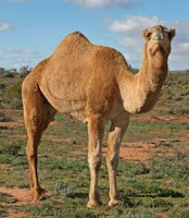 Animals Camel Special Feature