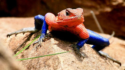Cicak Spiderman adaptasi dari Mwanza Flat Headed Agama.