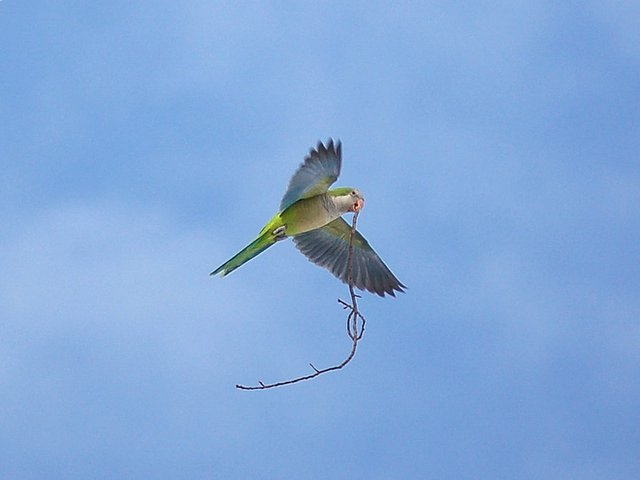 Quaker Parrot in flight with large twig for nest.
