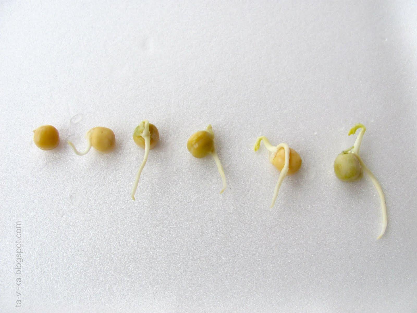 Когда сажать семена гороха 914