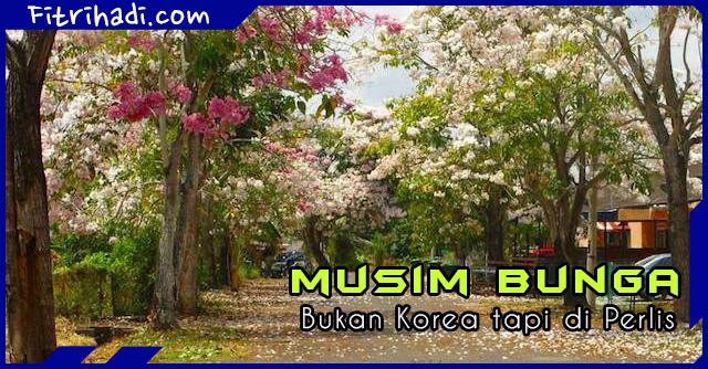 Gambar Pemandangan musim Bunga Bukan Korea Tapi Perlis