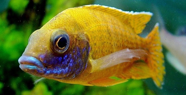 INDONESIAN FRESHWATER FISH COMMUNITY - IFFC: AFRICAN CICHLIDS (MALAWI)