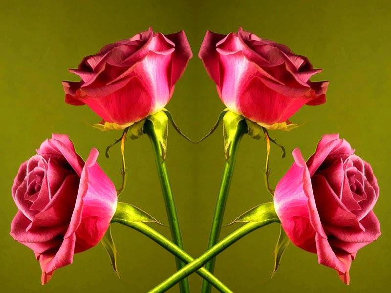 Best Full HD Size Pair of Four Rose Flowers Images High Quality Wallpapers