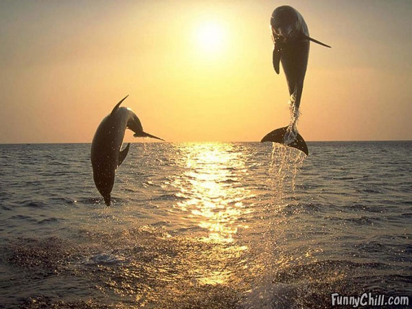 Funny dolphins jumping in the sunset |Funny Animal