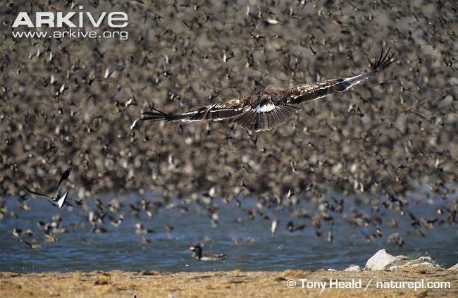 steppe eagle Aquila nipalensis