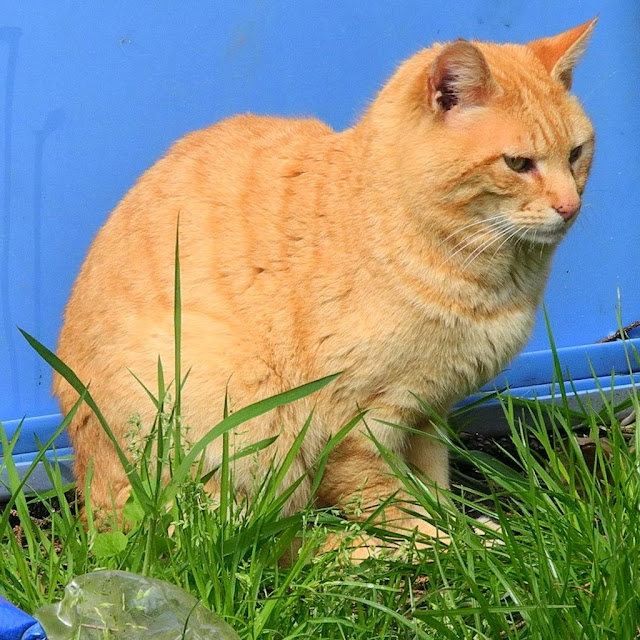 Orange feral cat on blue background, in nature