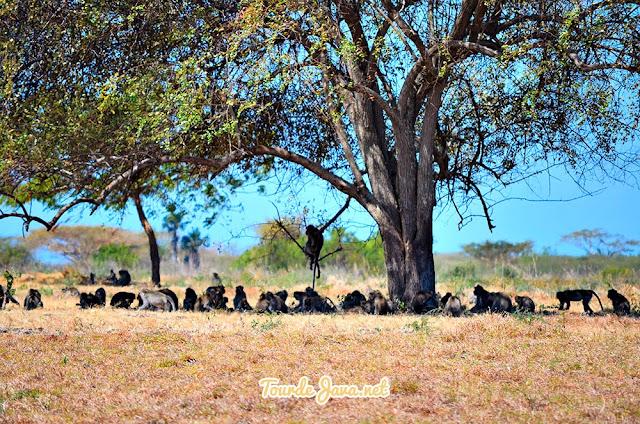 sekumpulan monyet berkumpul di savana baluran