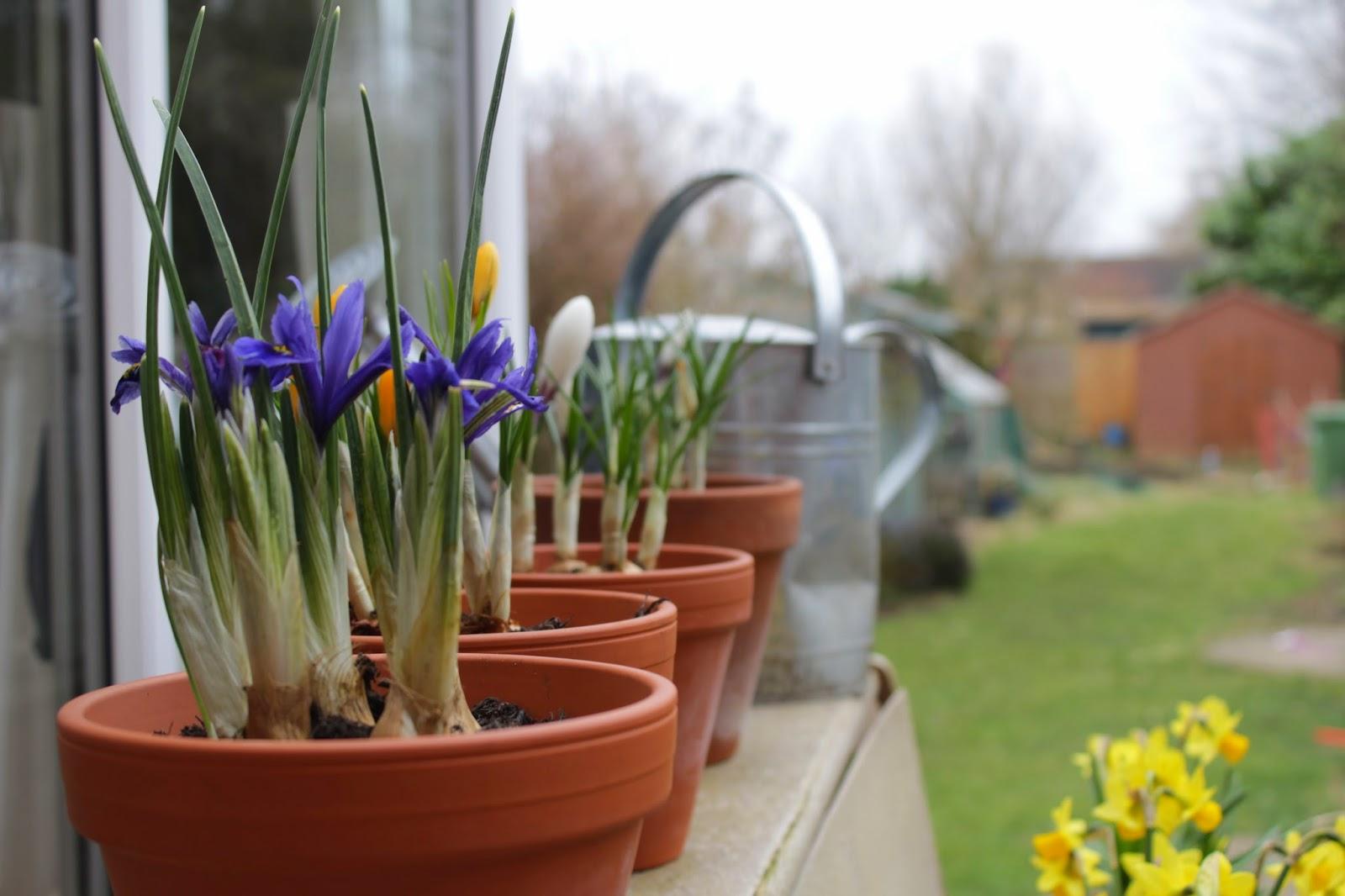 Iris & crocuses // 76sunflowers