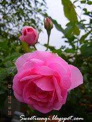 Pink Ros Kampung/Damask