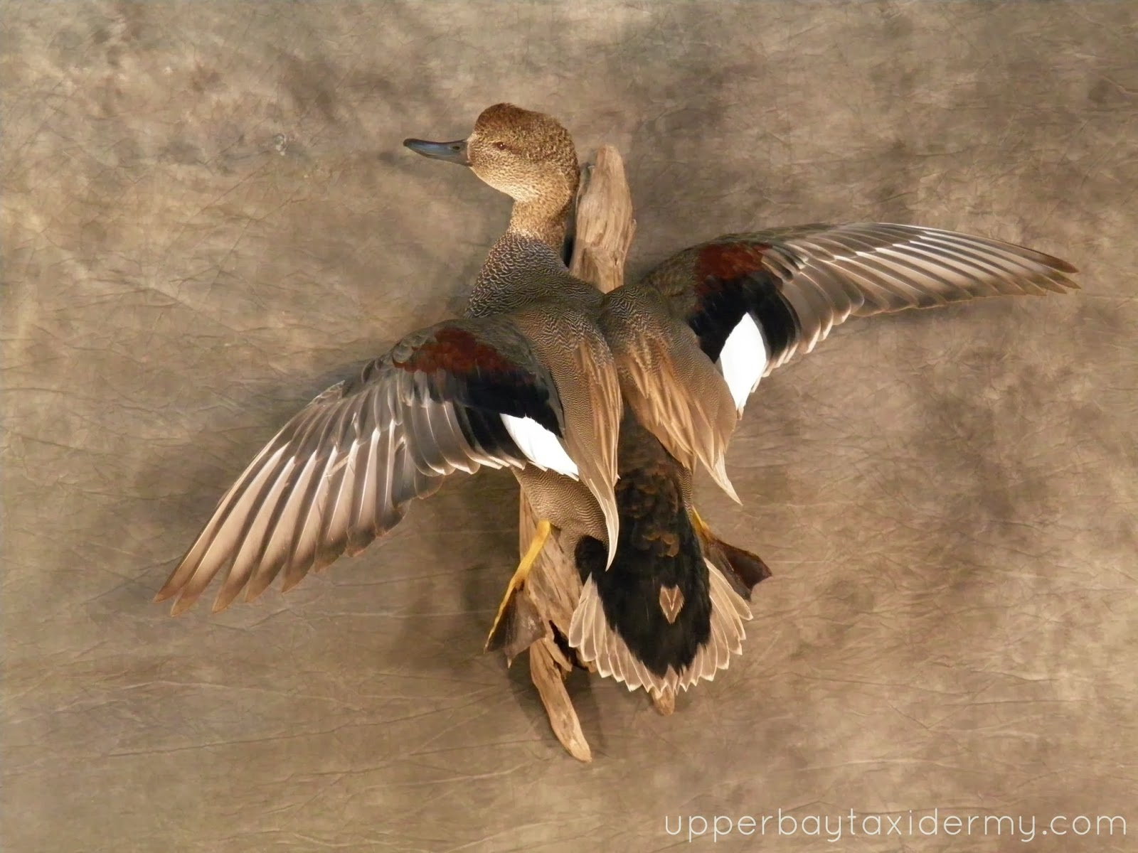 Gadwall duck mounts - photo#16