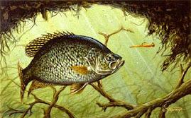 MENOMINEE COUNTY FISH: Black Crappies