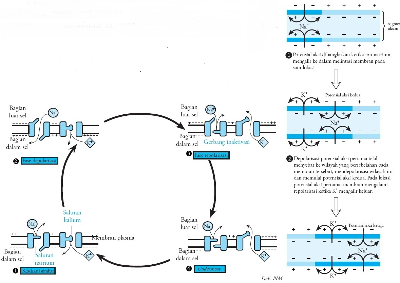 Penghantaran impuls saraf melalui membran plasma konduksi gambar 1 mekanisme penghantaran impuls saraf melalui membran plasma neuron ccuart Choice Image