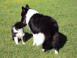 Bi-black Sheltie adult and puppy