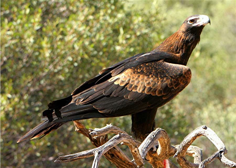 Rules of the Jungle: Wedge Tail Eagle