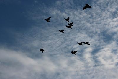 Revoada de pombos nos céus do Parque Areião