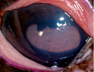 equine fungal keratitis - photo #9