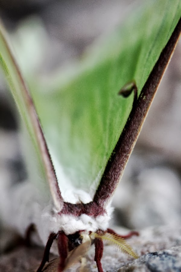 Detail of Moth ~ Photo by ChatterBlossom #moth #nature