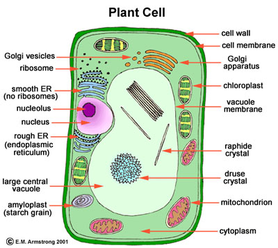Colten's Blog: Plant Cell Structure