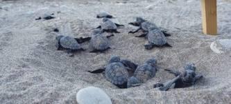 800 φωλιές για την Καρέτα-Καρέτα στον Κυπαρισσιακό Κόλπο