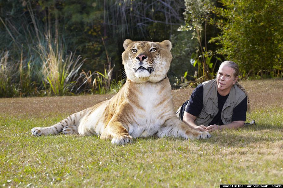 White Wolf : Hercules, 922-Pound Liger, Is The World's ...