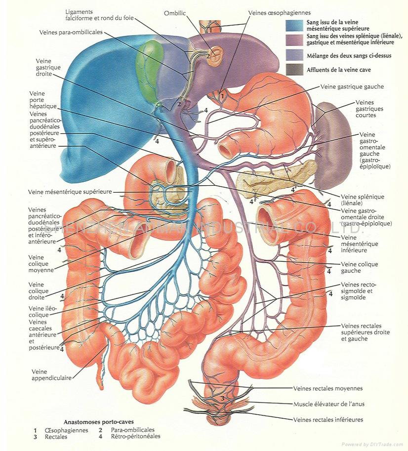 Keep Your Health Organ Anatomy Graph Diagram Page 3