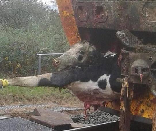 Apabila Lembu Dirempuh Keretapi