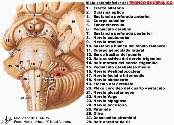 Tronco encefálico - Anatomía del sistema nervioso y organos de los ...