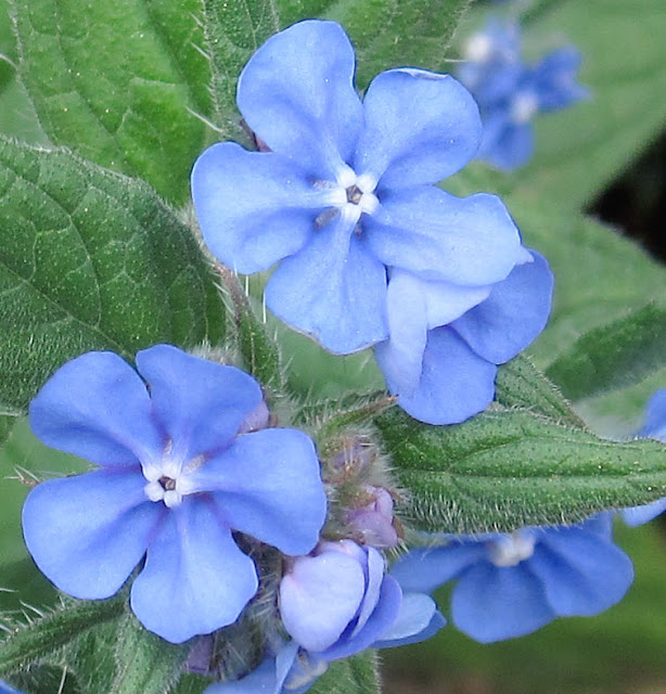 I thought this was a forget-me-not too, but it turns out to be Pentaglottis sempervirens, also called green alkanet or evergreen bugloss.  It seeds readily and is common in this area. 20 April 2011.