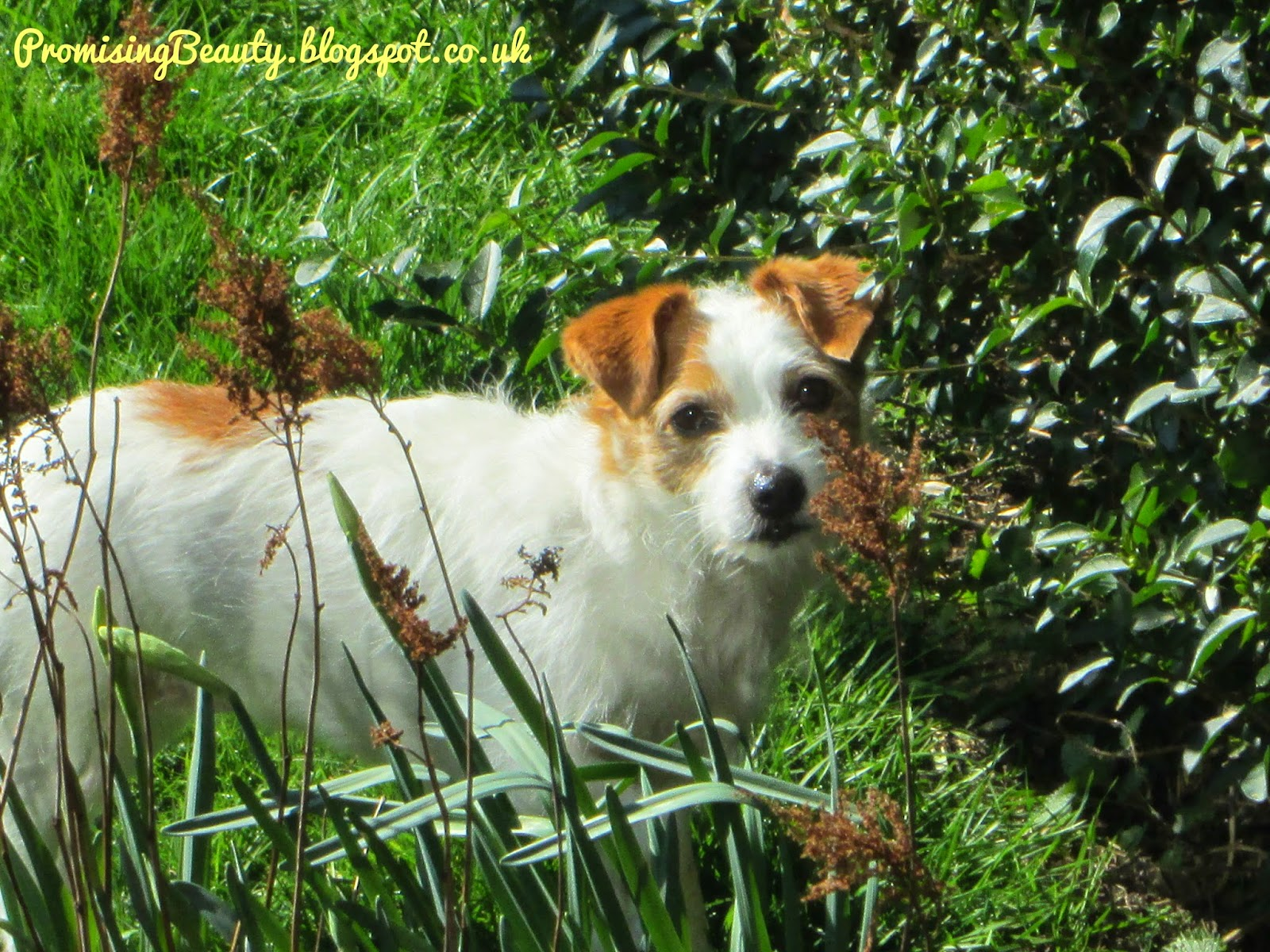 Beautiful little JAck Russell Terrier enjoyying the sunshine in the garden. She's such a small dog and so cute.