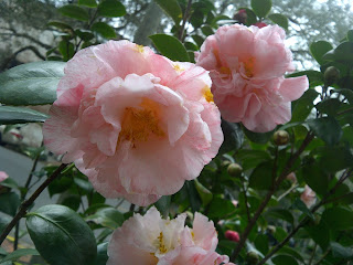 Flowering camellia shrub photo -c- Sandy Traub | Used with permission