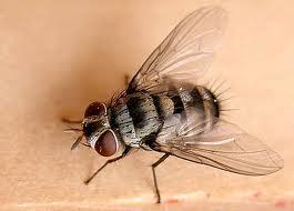 cara mengusir lalat pengganggu