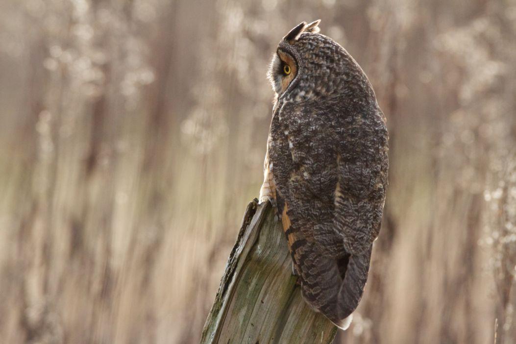 19. Long Eared Owl
