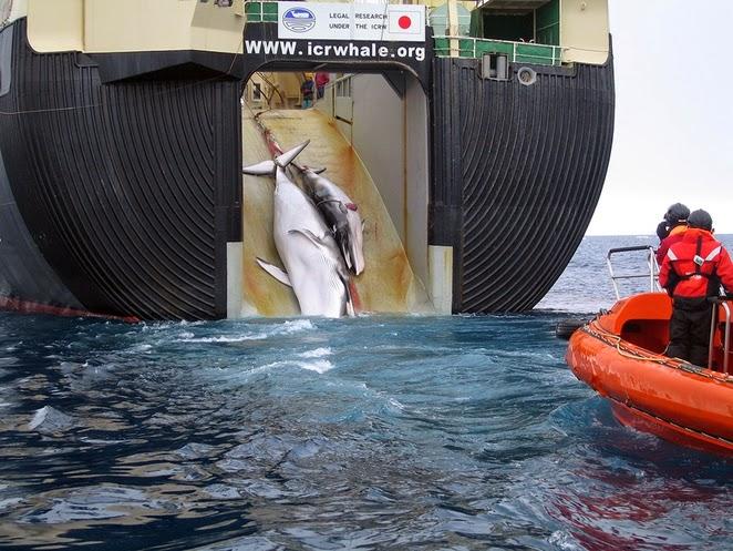 la caza de ballenas se detiene en la antartida