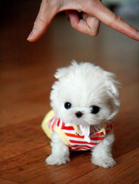 Super-Tiny Baby Teacup Maltese Puppy!