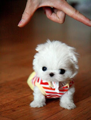 Teacup Puppies on Super Tiny Baby Teacup Maltese Puppy